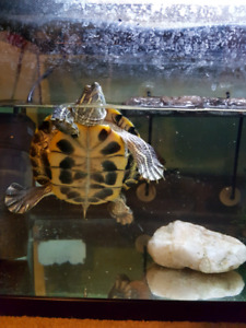 *need gone today** 2 turtles with tank & accessories