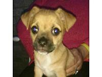 1 male chug puppy