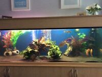 American cichlids for sale