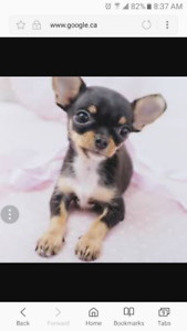 Looking for teacup chihuahua!ASAP