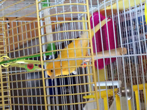 FOUND! Canary found in Kitchener on July 15.