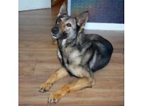 5 year old GSD