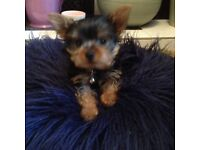 YORRKIE T-CUP PUPS FOR SALE