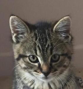 """Baby Male Cat - Tabby (Brown): """"Cane"""""""