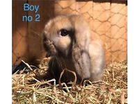 Sooty fawn mini lop buck