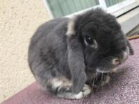 Blue mini lop male rabbit