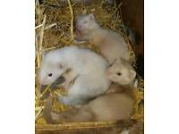 3 hob ferrets for sale