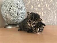 Beautiful Grey Stripy Black Tabby Male Kitten looking for Loving New Home