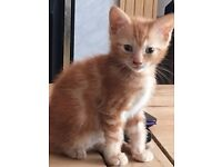 male ginger and white kitten 8 weeks old,
