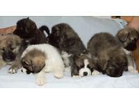Caucasian Shepherd Puppys