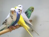 QUALITY BABY BUDGIES