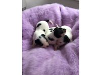 3 male jack Russell puppies