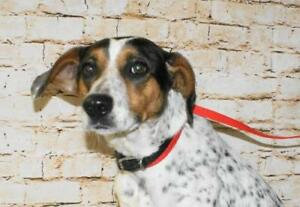 """Young Female Dog - Beagle-Spaniel: """"Lily"""""""