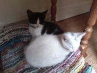 TWO KITTENS FOR SALE £55 EACH