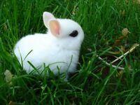Netherland dwarf baby rabbits real cutest