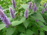 Perennial Plants for Sale £3 each - great for Bees! Korean Mint Available 19 August