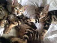Bengal x Kittens stunning markings male and female