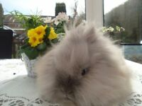 double maned lion head doe rabbit for sale