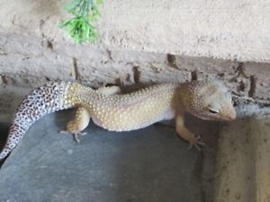 2 Leopard Gecko's and everything you need to care for them