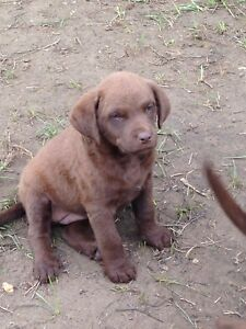 Chesapeake Bay Retriever Puppy's