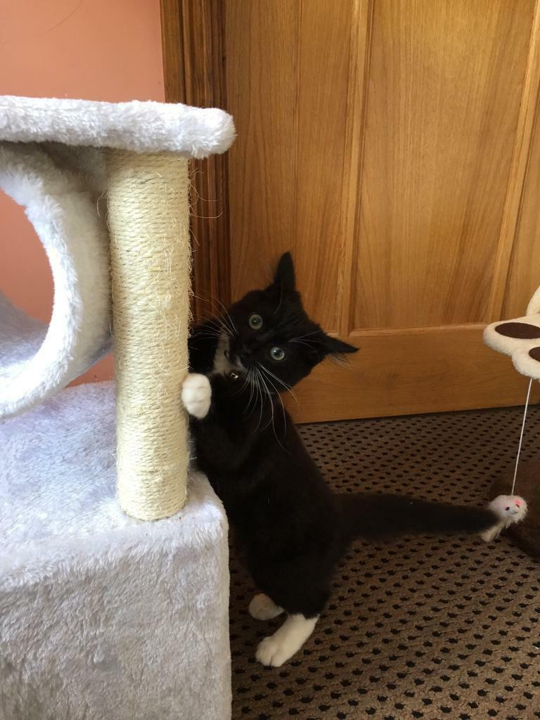 Kitten for sale with accessories and toys