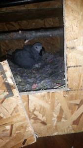 moving sale Breeding pairs of Congo African grey