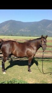 For Sale - Beautiful, Stalky 5 year old Gelding