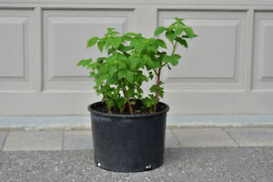 Everbearing Fall Gold Raspberry Rooted/ 5 gal Organic Soil Pot