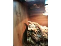 ridged tailed monitor for sale