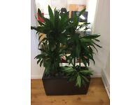 7 Office Pot Plants - Very Mature / Large - Make Office Look Very Professional