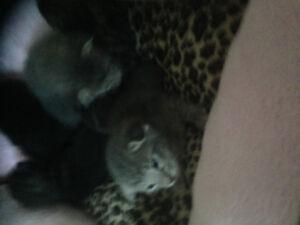 Gorgeous Siamese (applehead) Kittens