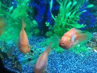 Parrot Fish XL For Sale
