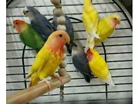 "Colourful Bird Pet ""like budgies/cockatiels"" £30/£35 + Cages From £20"