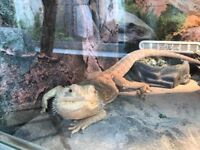 x2 bearded dragons - can be sold separately