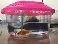 Gold fish in mini tank