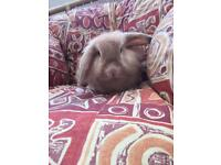 Female Lionhead rabbit for sale