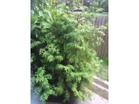3 x 7 foot conifers for sale