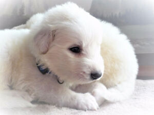 Gorgeous Great Pyrenees Guardian Puppies