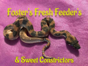 Foster's Fresh Feeder's and sweet constrictors