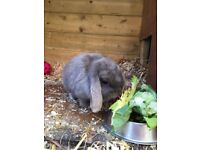 Mini lop rabbit free to good home