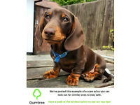DACHSHUND THE LITTLE SAUSAGE DOG -- Read the ad before replying!!!