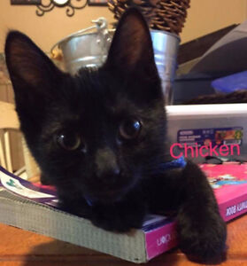 Chicken, All Black Kitten for Adoption with KLAWS