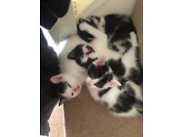 2 LEFT!! White and Black Kittens For Sale! GOING FAST!