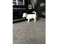 White huskey puppy