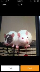 Two AMAZING Sister Rats