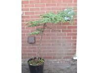 Cedar of Lebanon (Cyprian Cedar, Cedrus Libani Brevifolia) 4 ft high Garden Bonsai