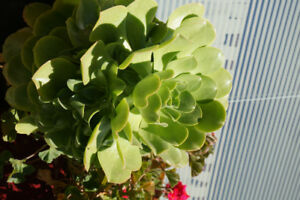 Beautiful healthy huge succulent plants for sale