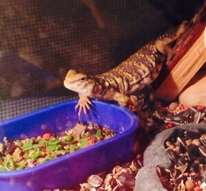 3 Year Old Uromastyx And All Accessories!