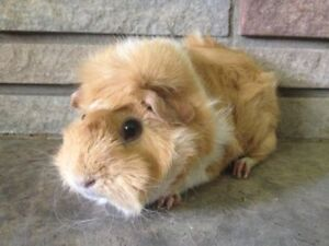 Adorable Young Guinea Pigs Ready to Leave!