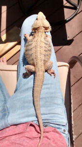 Male Hypotranslucent Bearded Dragon - 2.5 years old